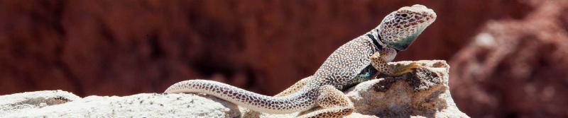 collard-lizard